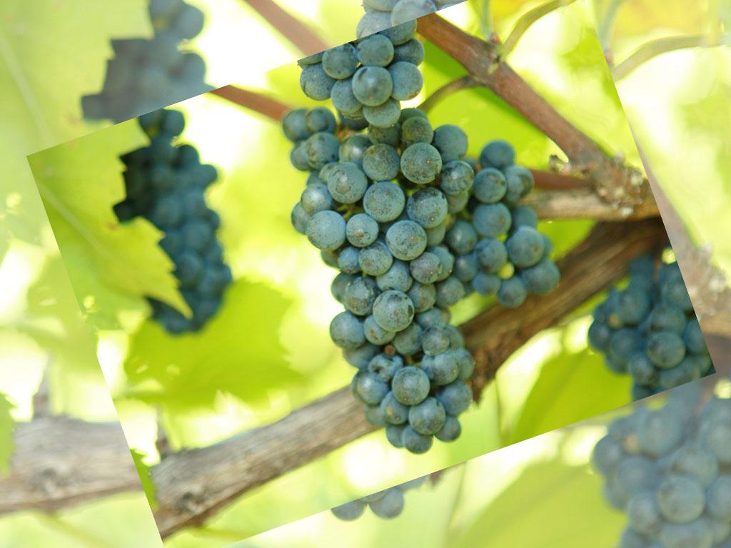 vinograd_leon_mijo_1_1024_768.jpg